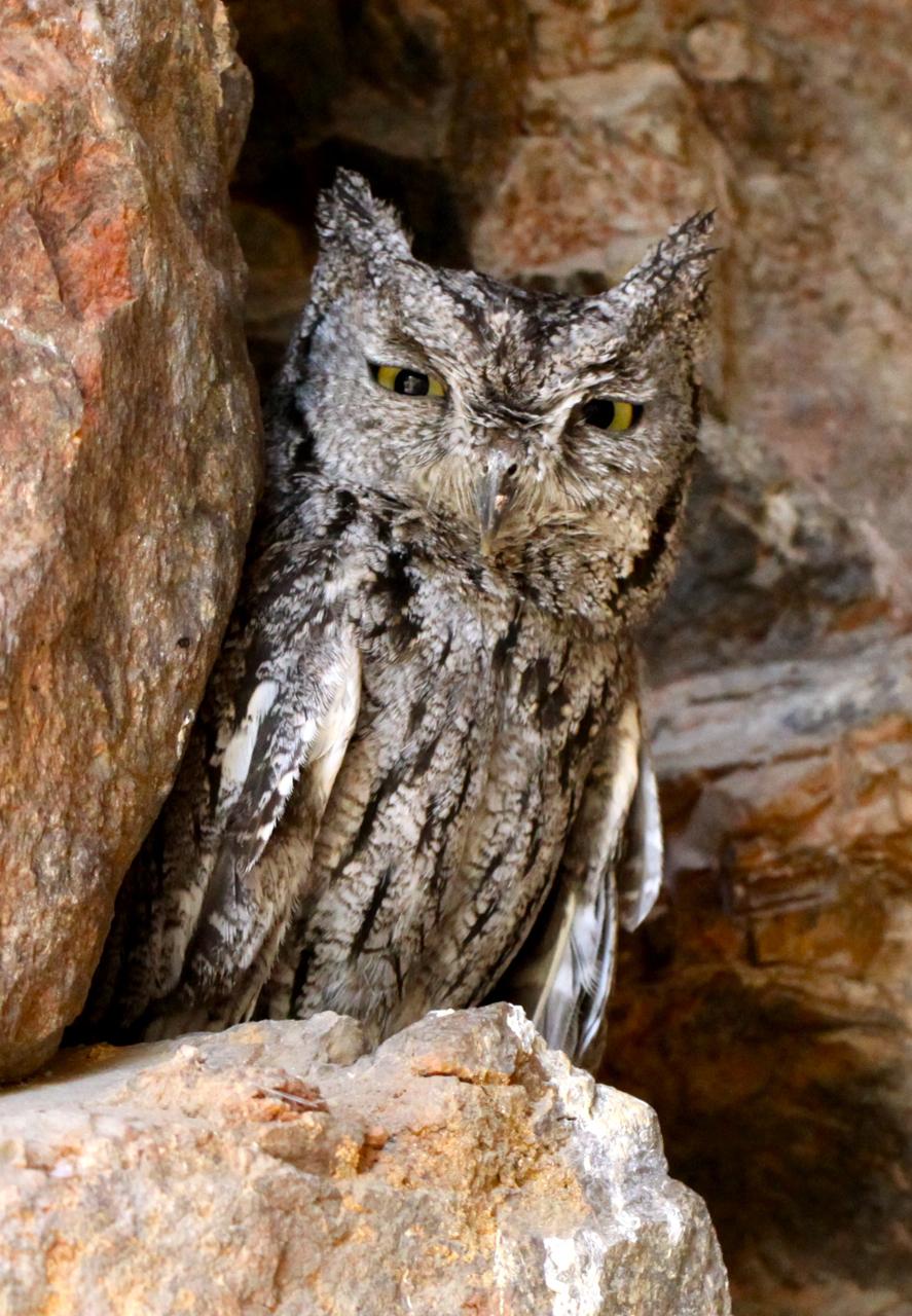 Desert Owl Flying